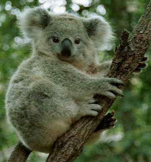 koala australia animal pets wallpaper