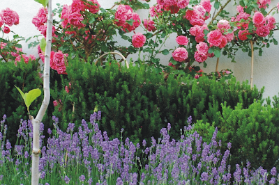 ogród lawendowy