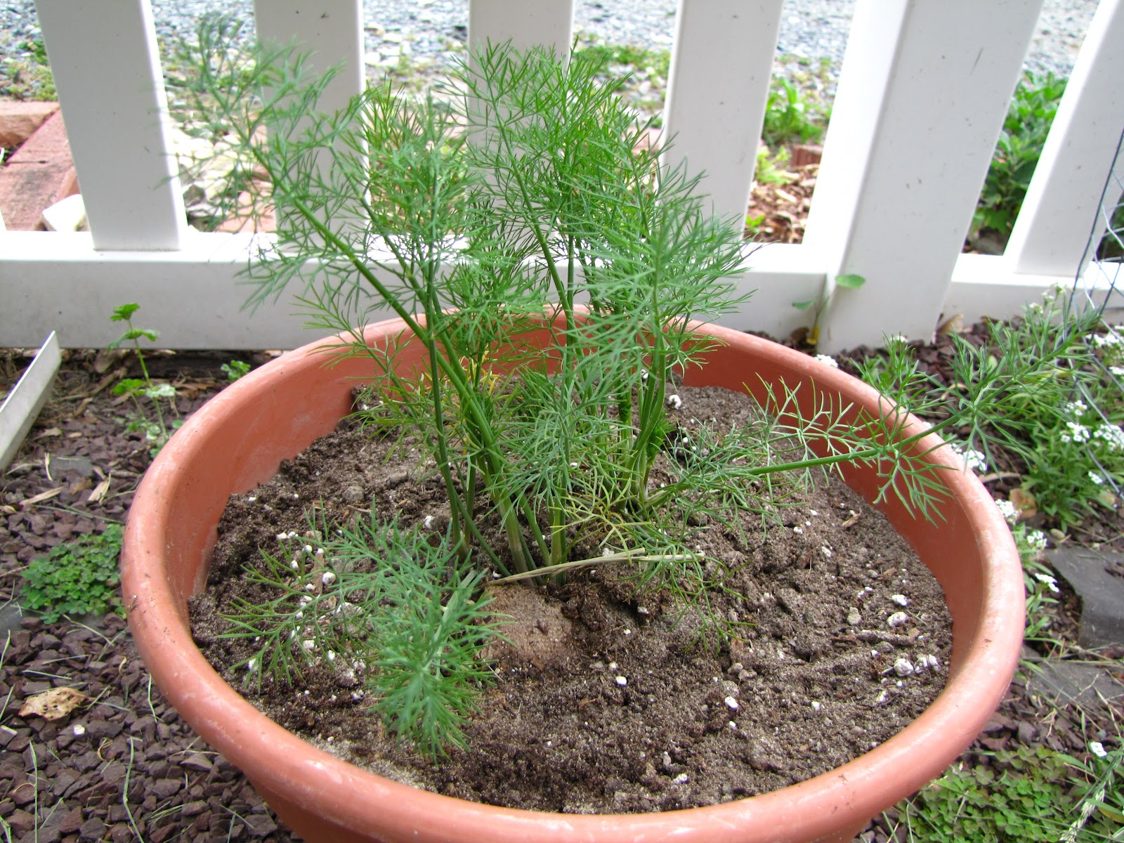 Views from the Garden Tips on growing dill weed
