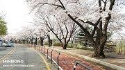 รีวิว พาเที่ยวเทศกาลซากุระยออึยโด