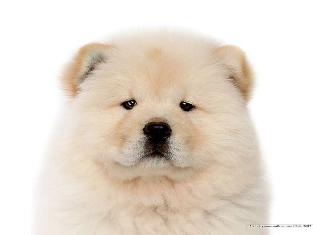http://2.bp.blogspot.com/-lclzjrCltFY/TcwBfFervEI/AAAAAAAAM3A/AYNRUryqwMI/s1600/Chow_Chow_dog_wallpaper_85064.jpg