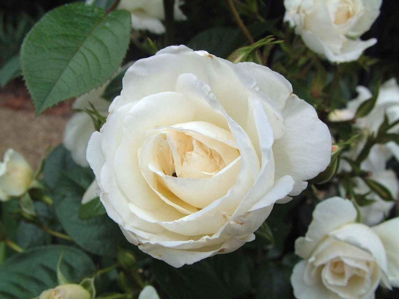 white rose flowers - photo #6