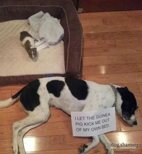 dog shaming guinea pig in bed, guinea pig stole bed, funny guinea pig, funny animals, dog shaming picture