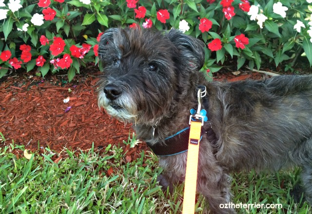 Oz the Terrier enjoys the cooler South Florida weather