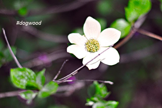 dogwood flower tree