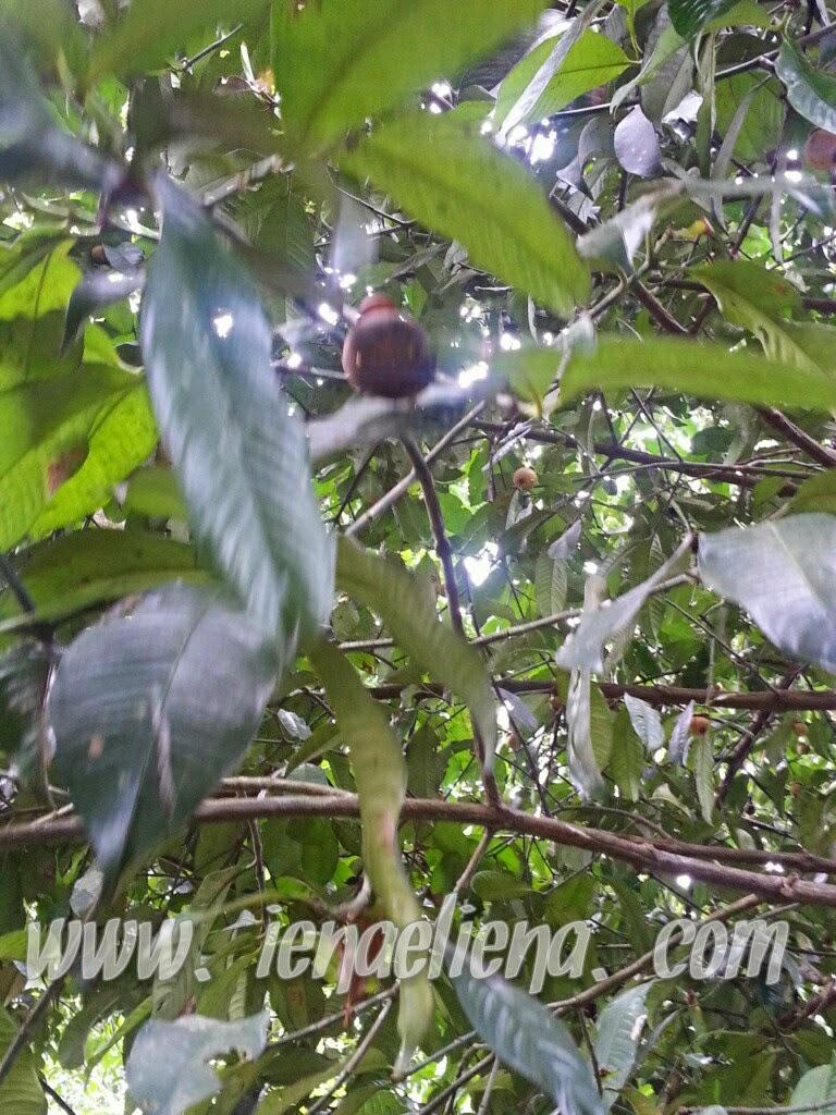 Panjat pokok manggis untuk mak buyong