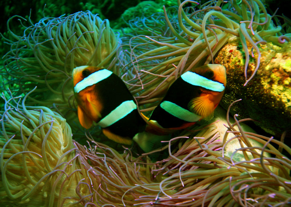 Life under the blue water clark 39 s anemonefish a for Blue clown fish