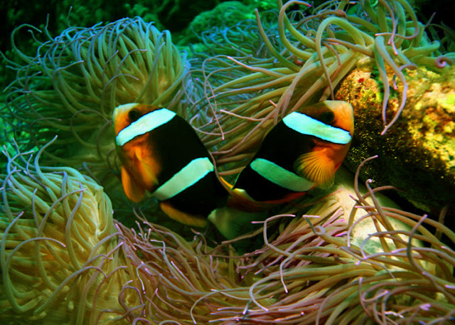The beautiful Clark's Anemonefish