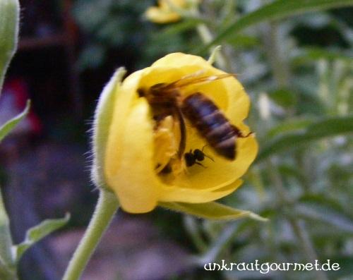 Futterneid unter Bienenarten