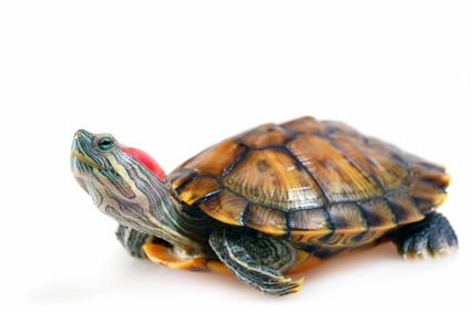 Черепаха рисунок