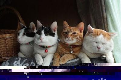Foto Shironeko Kucing Termalas di Dunia 05