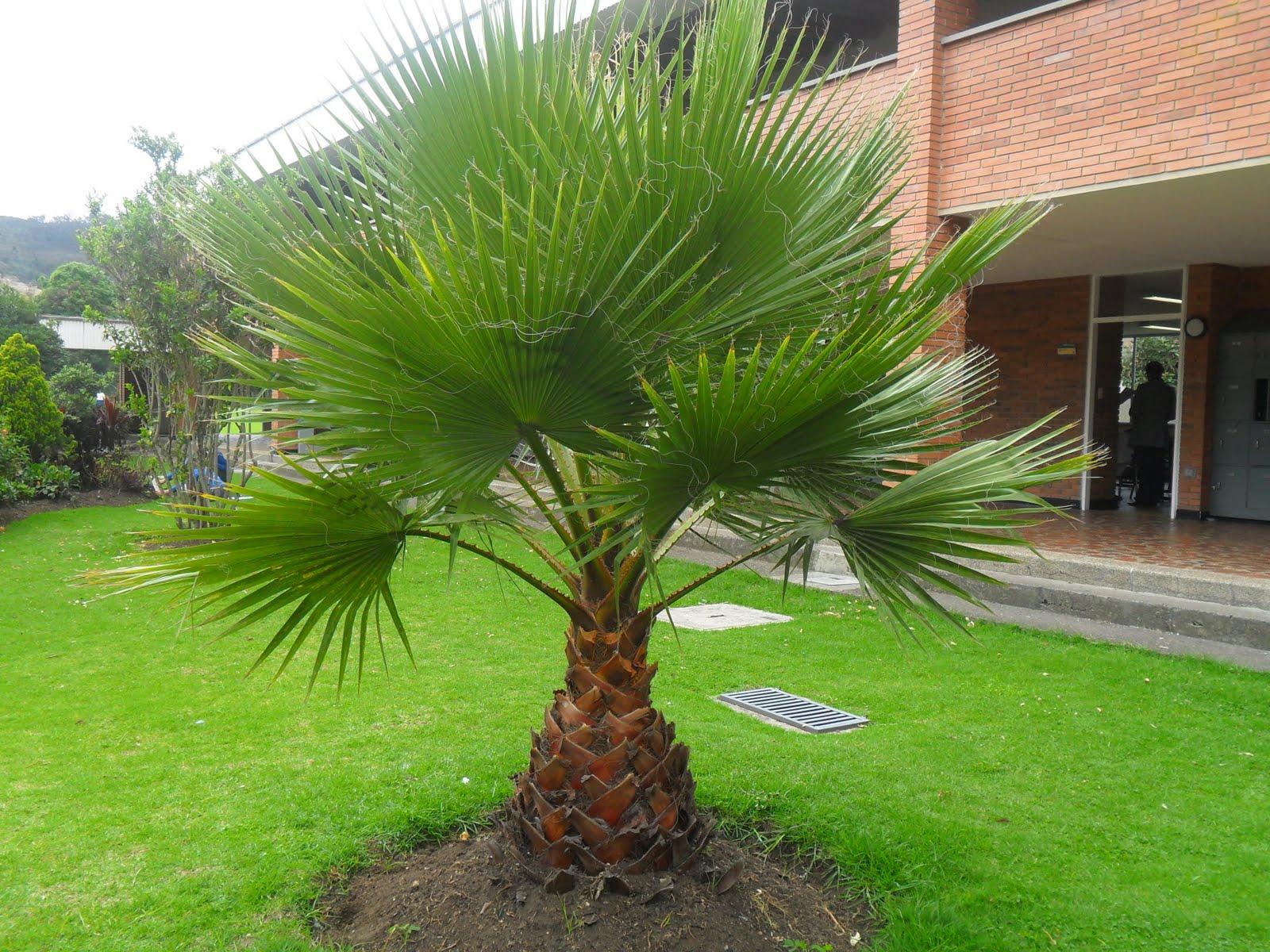 Arte y jardiner a trachycarpus fortunei - Palmeras pequenas para jardin ...