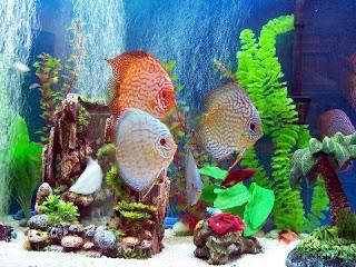 Discus animal wildlife for Poisson rouge aquarium 10l