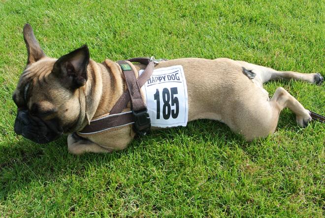 Mops und Bulldoggen Rennen