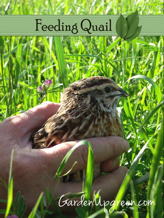 Feeding Quail, shared byGarden Up Green