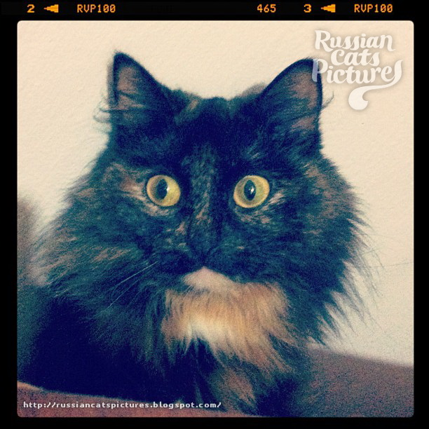Domestic Instacats: Tortoiseshell Kitty Cat 07