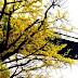 銀杏と関門橋