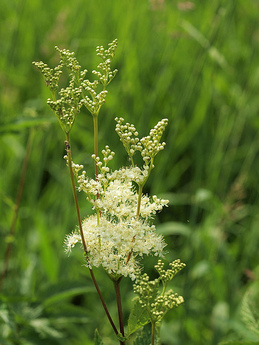 Growing hermiones garden filipendula ulmaria meadowsweet meadowsweet has delicate graceful creamy white flowers clustered close together in handsome irregularly branched cymes having a very strong sweet smell mightylinksfo