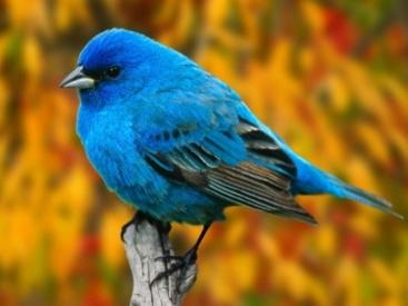 Uccellino-azzurro.jpg