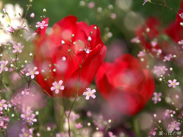 Red Rose Wallpapers 04 White 01