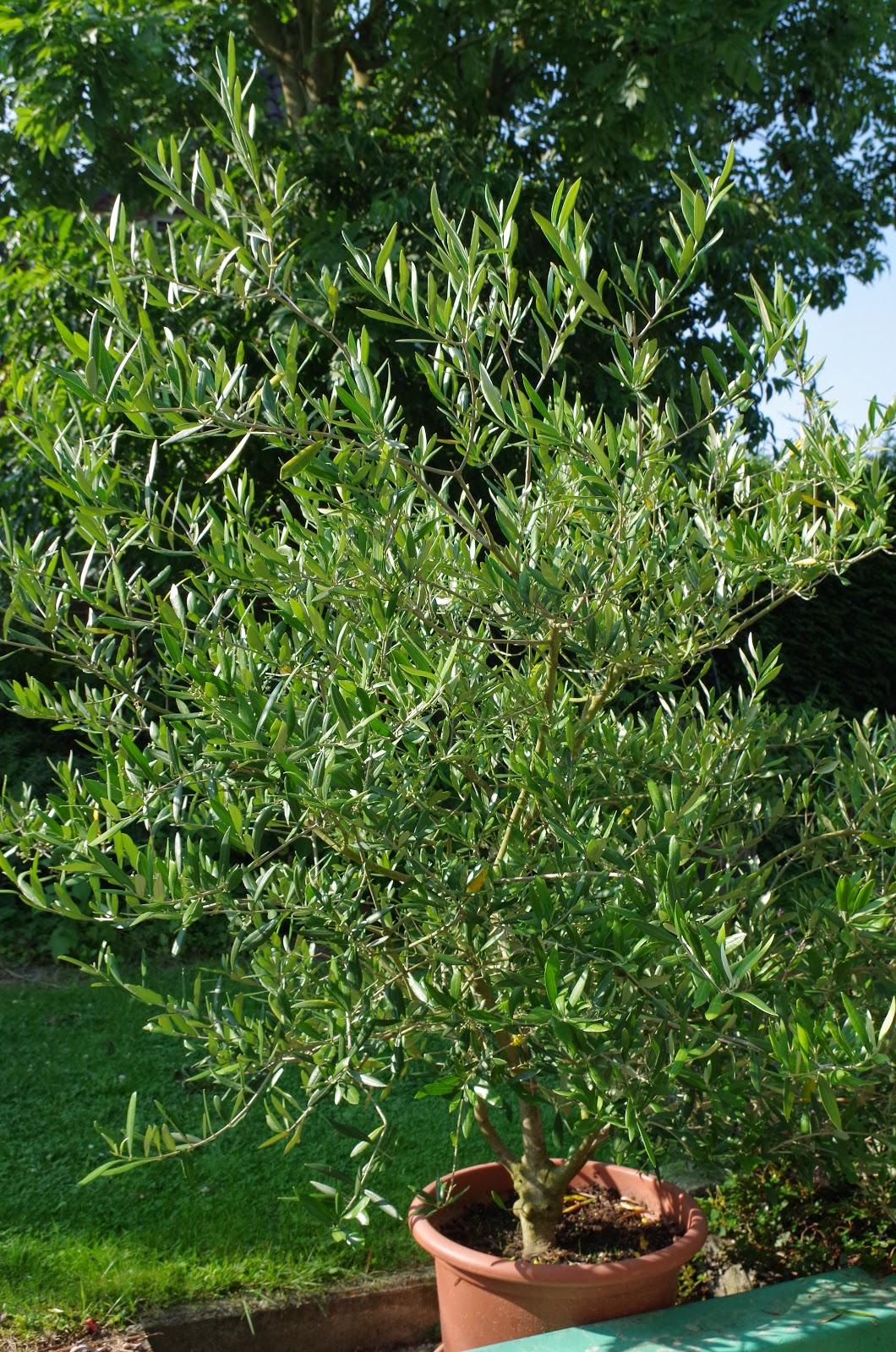 mr greens welt olivenbusch in der bl te. Black Bedroom Furniture Sets. Home Design Ideas
