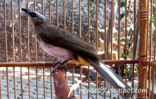 budidaya burung tips cara merawat trucukan agar rajin