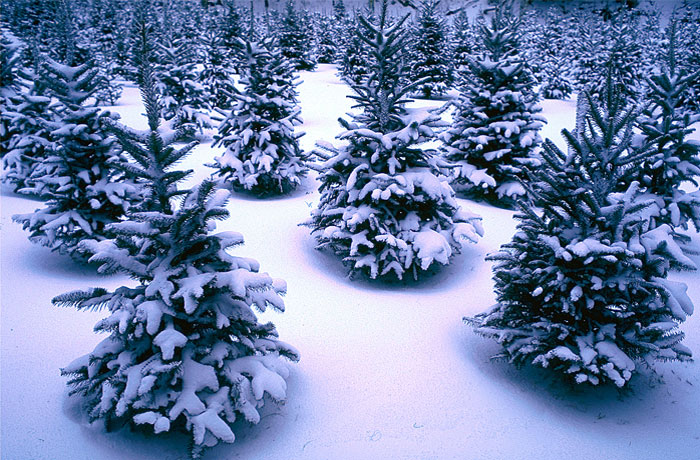 Christmas Trees Farms