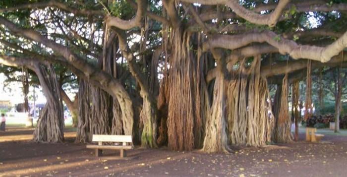 Sejarah Unik Pohon Beringin di Hawaii