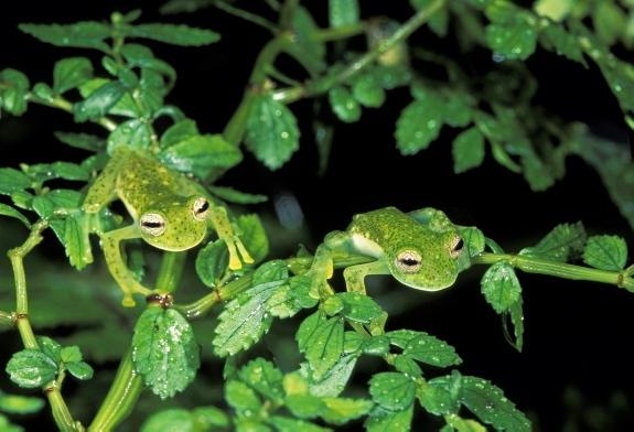 glass+frogs Kodok Kodok yang Pintar Menyamar