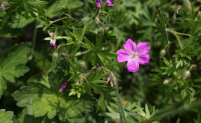 Geranium Sanguineum Flowers Pictures