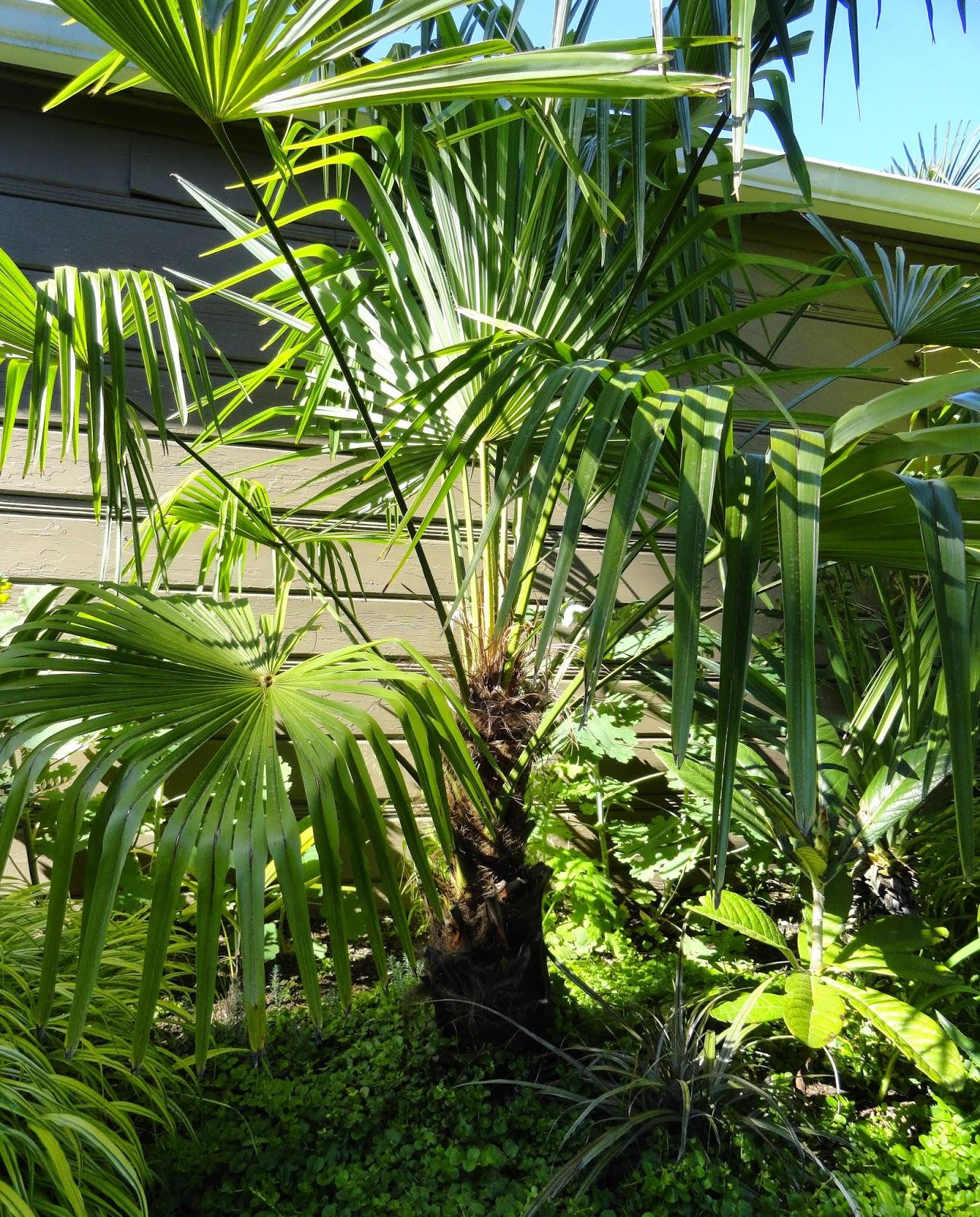 danger garden trachycarpus fortunei is my favorite plant. Black Bedroom Furniture Sets. Home Design Ideas