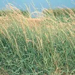 Tipo de cesped Agrostis estolonifera