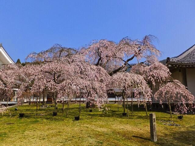 霊宝館の樹齢200年の枝垂れ桜。