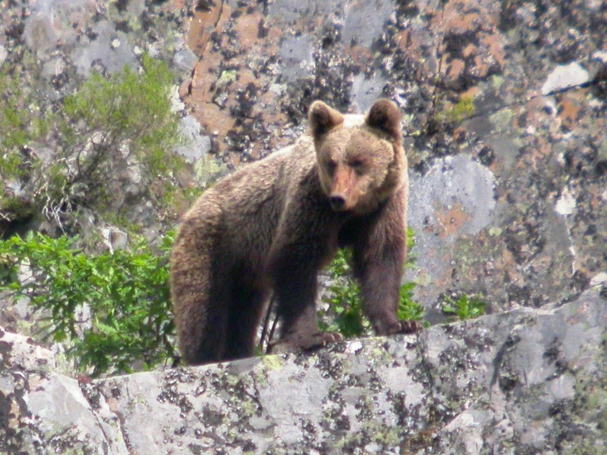 Setas y hongos: Ursus arctos pyrenaicus - El oso pardo ibérico