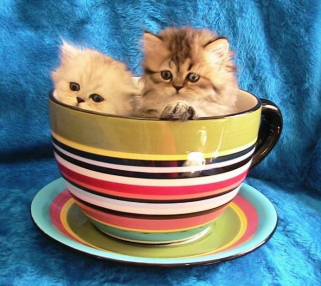 Cute Kawaii Animal: Teacup Kittens - The World\'s Smallest Kitten