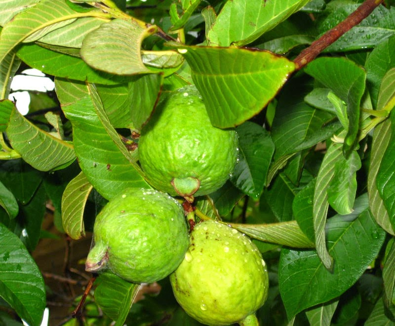 Benefits And Nutrition Of Guava Fruit Trees (Psidium guajava) For Health