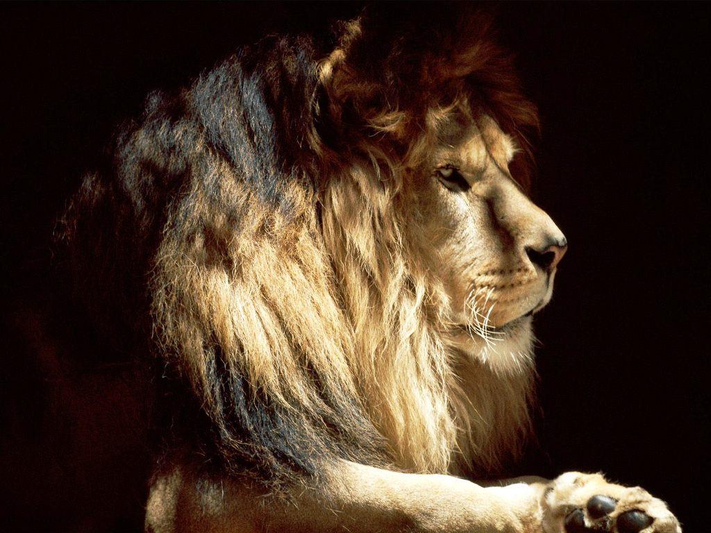 gallery for cool lion desktop wallpaper