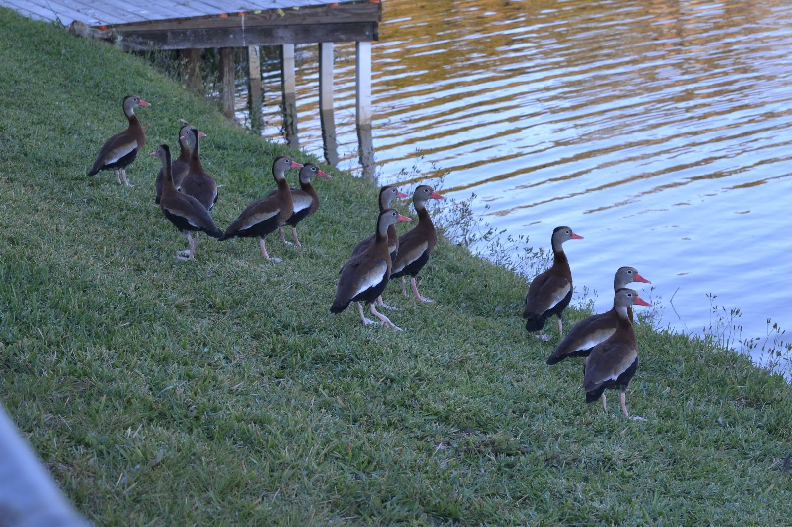 Whistling Ducks at our lake