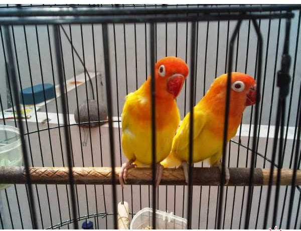abang kicau mania harga sepasang love bird lutino mata