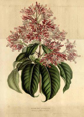 Dibujo de Fuchsia arborescens