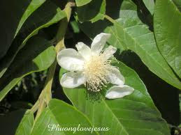 Flower of Psidium guava, Guava ...Hoa Ổi ....