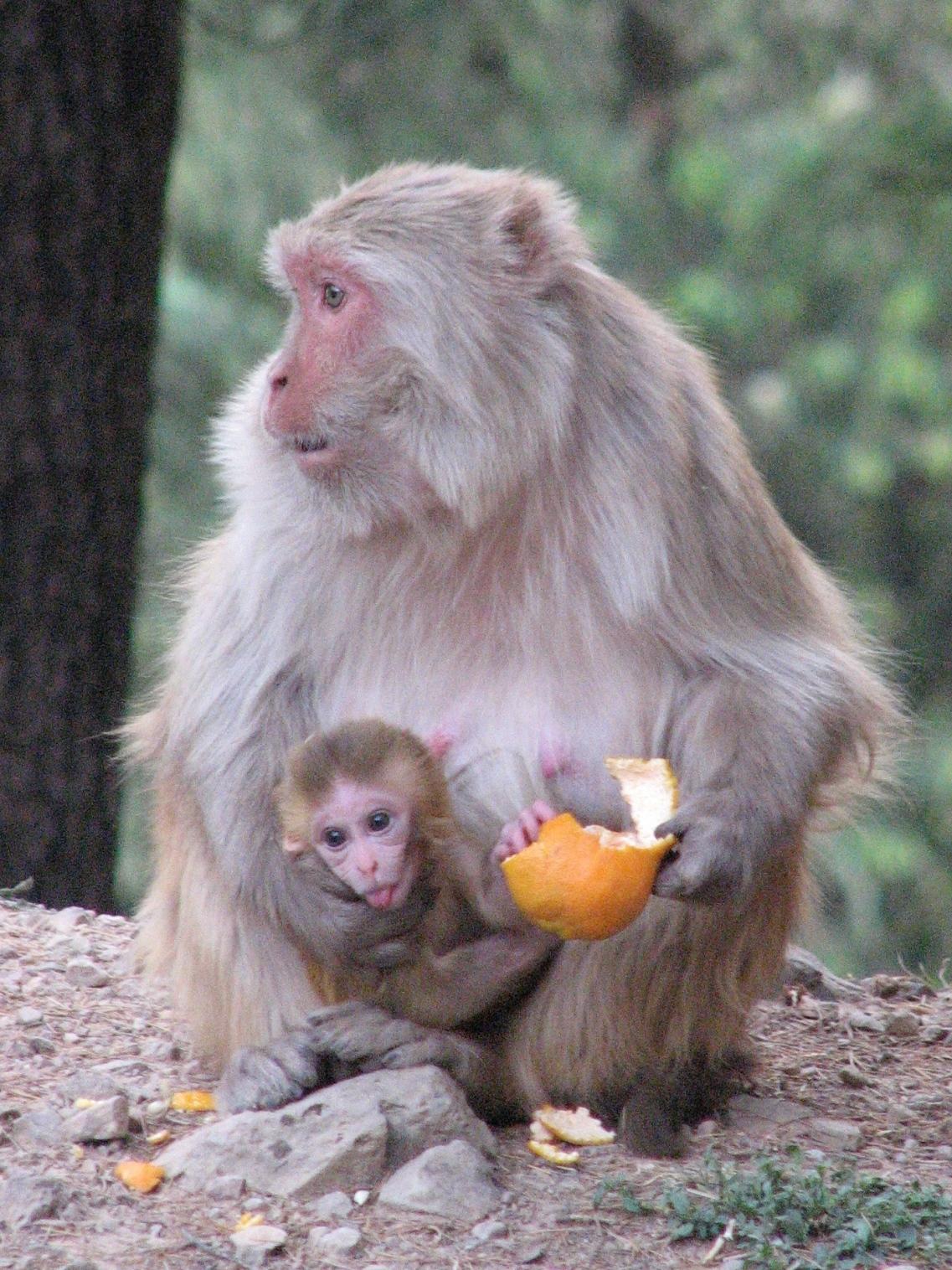 обезьяна кормит детеныша