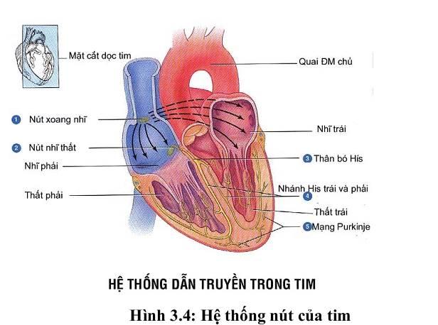 hệ thống nút tim