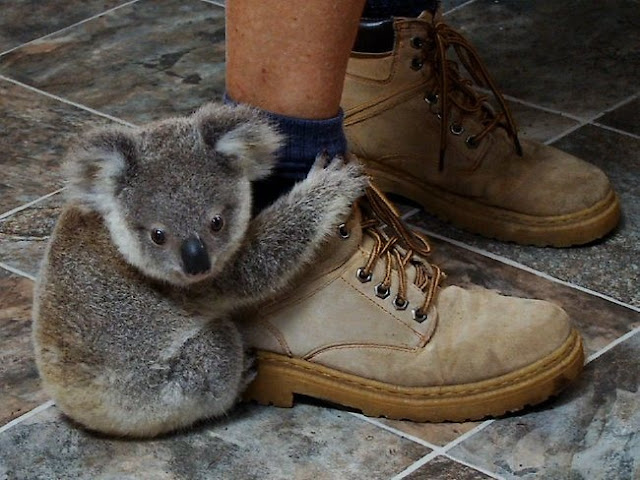 funny animal pictures, baby koala hugs human leg