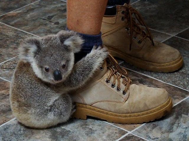 funny animal pictures, baby koala hugs human leg