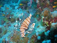 Lion Fish Underwater Ocean Wallpaper 1920x1200 Elphstone Reef 017