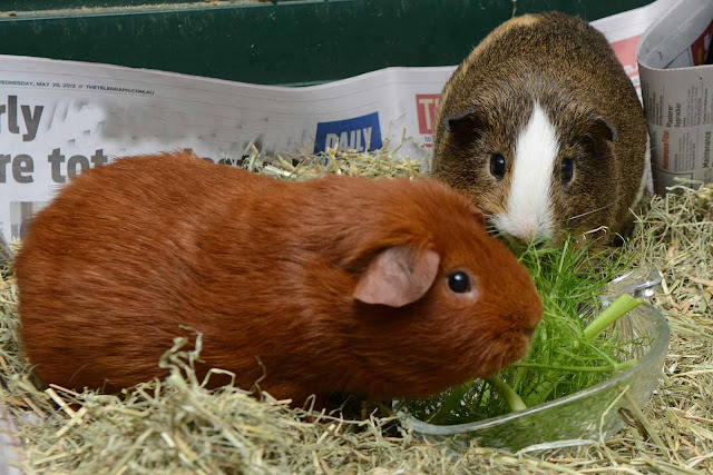 cavies eating fennel