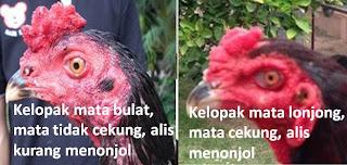 Mata ayam bangkok yang bagus
