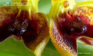 Pleurothallis aphtosa, Specklinia aphthosa, Pleurothallis foetens,Pleurothallis macrophyta, Pleurothallis pelioxantha, Humboldtia foetens.