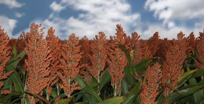Grain Sorghum Plant